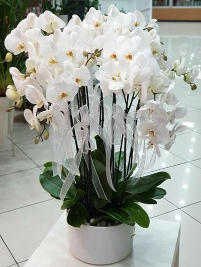 beyaz orkide 10 dallı